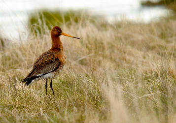 Black Tailed Godwit Of Iceland by kl61
