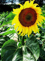 Sunflower by AndieBell
