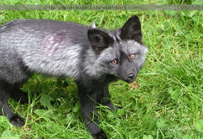 Curious baby fox 3 by KIARAsART
