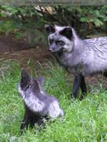 silver fox mom by KIARAsART