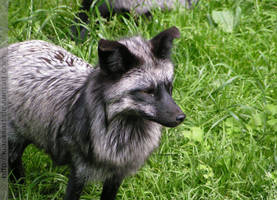 silver fox mom II by KIARAsART