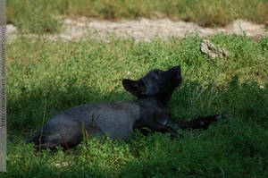 black baby wolf II by KIARAsART
