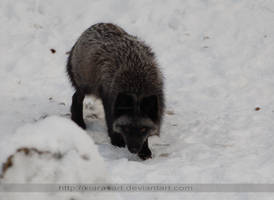 strolling grey fox 1 by KIARAsART
