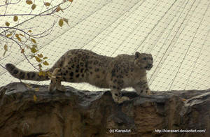 Snow leopard climbing by KIARAsART