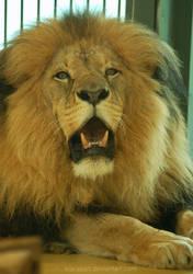 lion gaze by KIARAsART