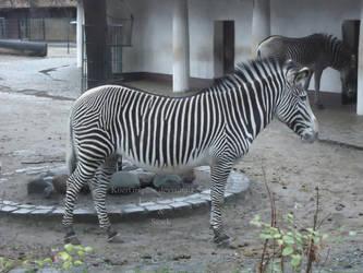 Zebra by KoerGraphic