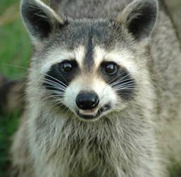 Ricci the Raccoon by apacheann6