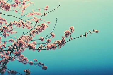 cherry blossoms 03 by gryffon