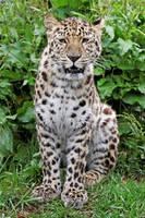 Amur Leopard 01 by LydiardWildlife