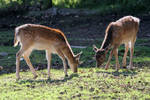 Deer 01 by LydiardWildlife