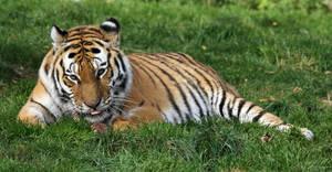 Tiger 01 by LydiardWildlife