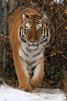 Tiger 02 by LydiardWildlife