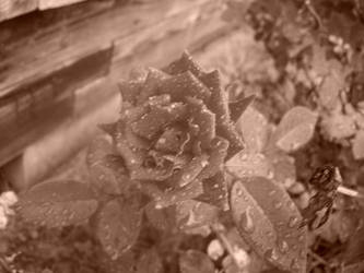 A Rose...sepia tone by Mephonix