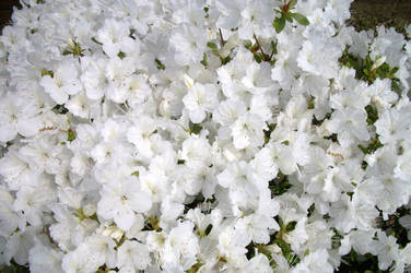 White azalea flowers by Mephonix