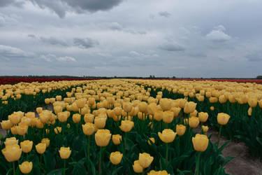 Yellow tulips by ReneHaan