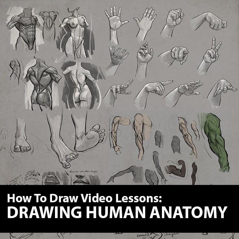 Figure Drawing Course Human Anatomy By Ablaise On Deviantart