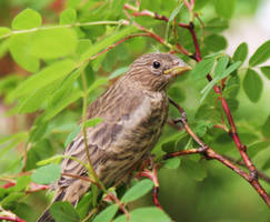 Baby finch by scotchy1ca