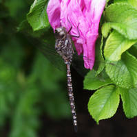 Dragonfly on a rose by scotchy1ca