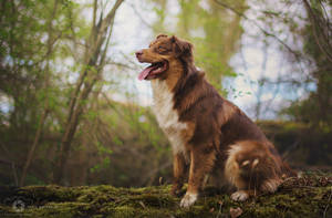 Pestka the Australian Shepherd by Aenkill