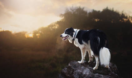 Altis the border collie by Aenkill