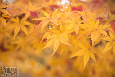 Yellow Leaves by darakusan