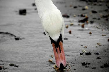 Swan IV by Avalancha