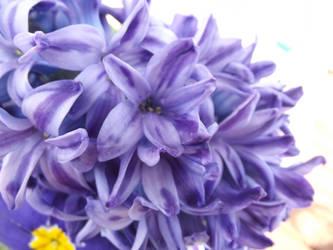 Blue Hyacinth Study #1 by jadedlioness