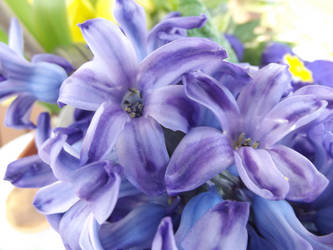 Blue Hyacinth Study #3 by jadedlioness