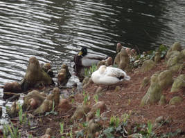 Kew Gardens: Ducks #3 by jadedlioness
