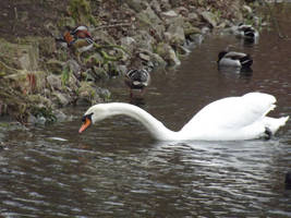 Kew Gardens: Swan #2 by jadedlioness