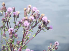 Thistles on the Water by jadedlioness