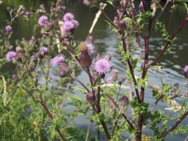 Purple Thistles by jadedlioness