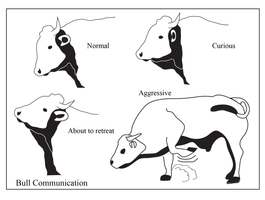 Open Polytechnic: bull body language by Starsong-Studio