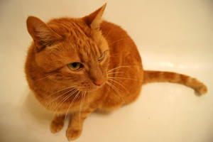 Orange Cat by Vertor
