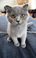 Small Scottish Fold Kitten by Vertor