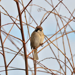 Tree sparrow by Peter-Gripenbark