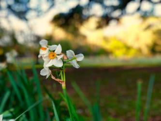 Daffodil by Mint-Pickles