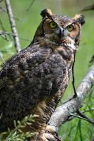 Great Horned Owl by littleheinrichsmom