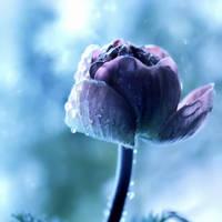 Ranunculus by Mars-Hill
