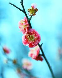 Peach flowers by Mars-Hill