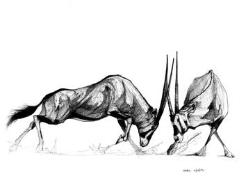 Oryx fighting by nikhiltricam