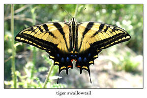 tiger swallowtail by xanadian