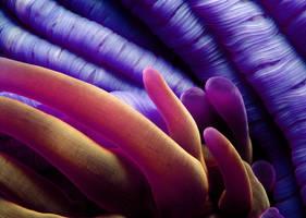 Anemone by ImagesOfJenius