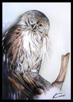 Pygmy Owl by Kuroi-kisin