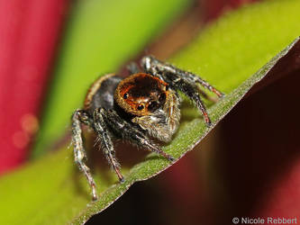 Jumping spider by Quelchii
