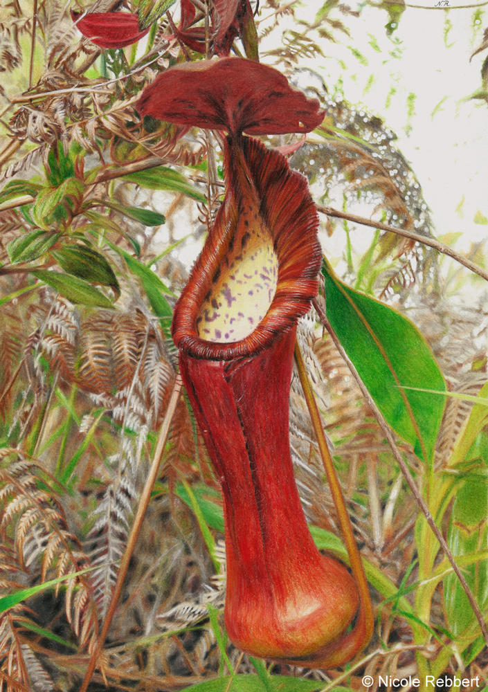 Pitcher plant (drawing) by Quelchii