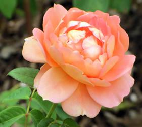 Rose by Itzom