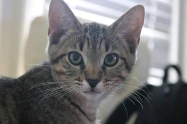 my new cat tigger at 11 weeks by bagera3005