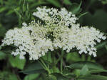 Queen Anne's Lace 2.0 by LaMoonstar