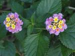 Lantana Flowers by LaMoonstar